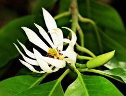 Chữa vô sinh (hiếm muộn) ở nữ với bài thuốc dân gian từ hoa ngọc lan