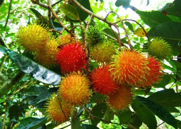 Vườn trái cây miền Tây