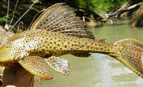 Cá lau kiếng ngoại lai