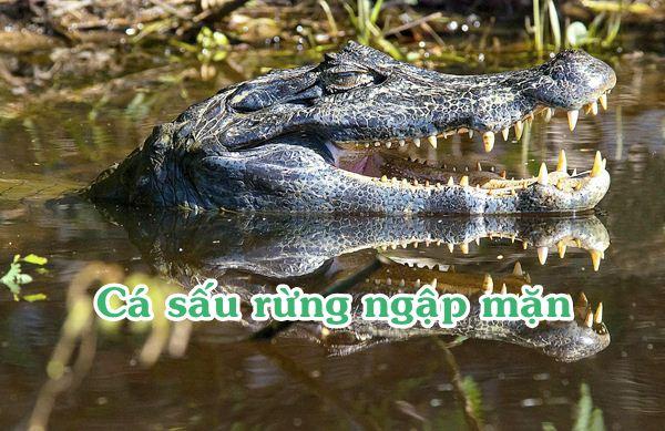 Cá sấu rừng ngập mặn