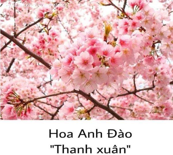 Hoa Anh Đào - Thanh Xuân