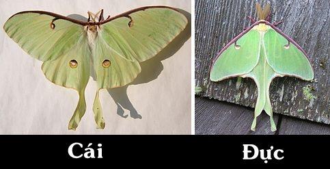 Bướm đêm Actias Luna moth